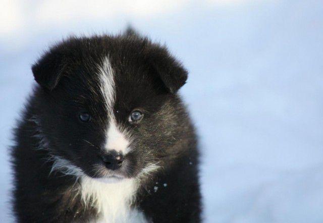 25. Карельская медвежья собака Порода, собака