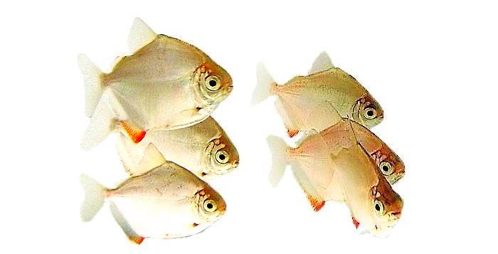 Метиннисы быстро растут, в 6-8 месяцев это уже сформировавшаяся рыба.