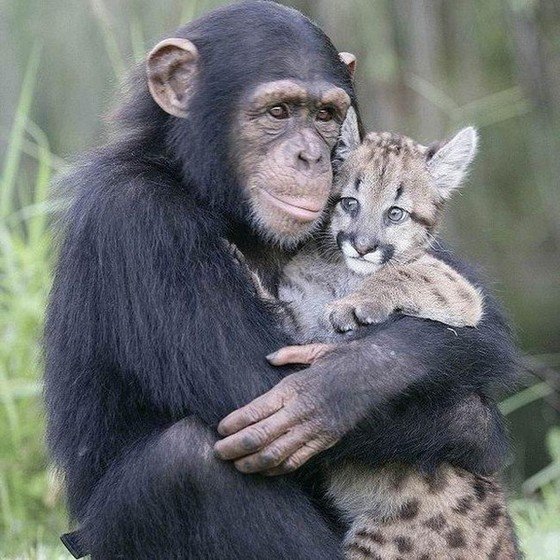 Шимпанзе - самые умные обезьяны