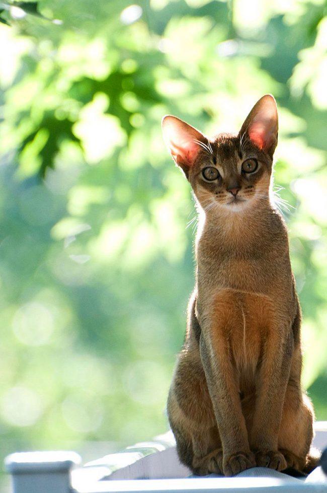 Эта кошка на редкость преданна и послушна человеку, прибегает всегда, если ее зовешь