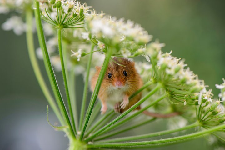 фотографии крошечных и забавных диких мышек (8)