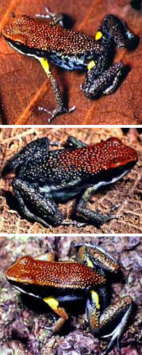 Ядовитая лягушка Epipedobates bilinguis (вверху), еще более ядовитая E.parvulus (в центре) и маскирующаяся под них неядовитая лягушка Allobates zaparo (внизу) (фото с сайта www.morley-read.com) Земноводные, амфибии. Зоология. Природа. Картинки. Изображения. Рисунки. Фотографии. Текст. Frogs. Frogs. Amphibious. Amphibia. Photo. Wild animals. Species animals. Wild nature. Zoo. Pictures. Text.