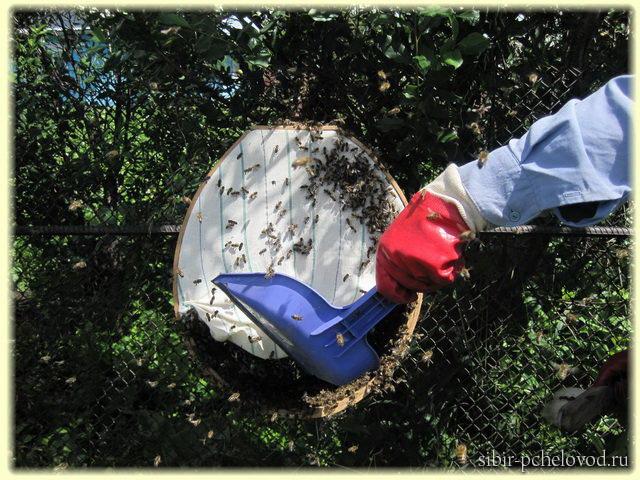 перенос роя пчел в роевню