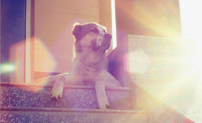 Алабай очень гордый пес, но если заслужить его уважение, тогда из него получается верный и бесстрашный защитник и друг
