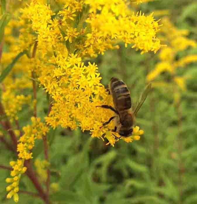 Как приобрести иммунитет к пчелиному яду?