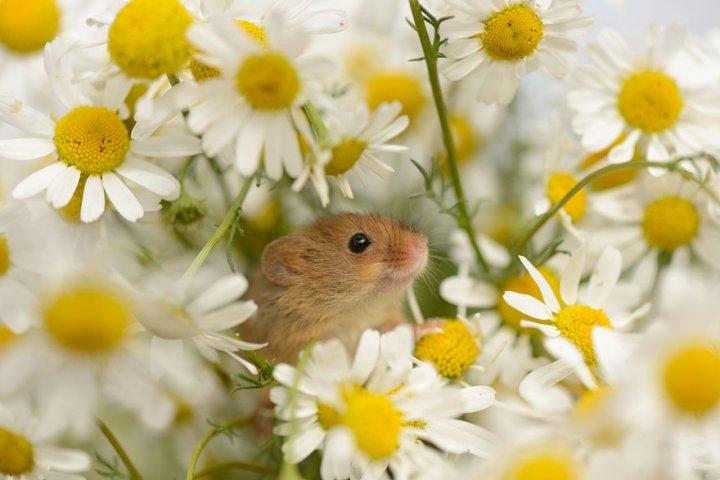 фотографии крошечных и забавных диких мышек (12)