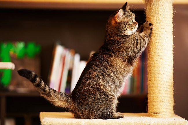 Несмотря на недлинные лапки, Манчкины проворные кошки и способны прыгать на невысокие стулья, столики, диваны