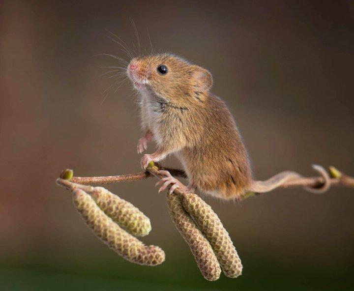 фотографии крошечных и забавных диких мышек (19)