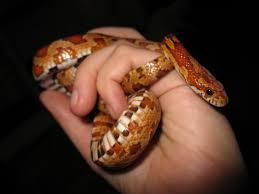 Эта змея вполне ручная