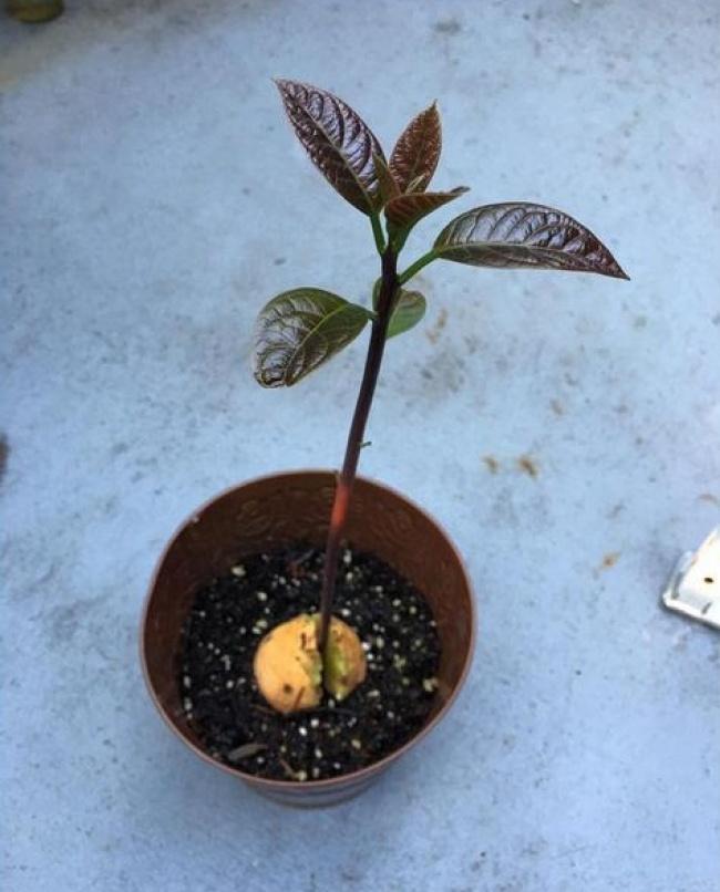 Как вырасти персик из косточки в домашних условиях