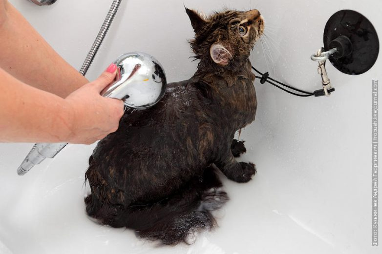 Как помыть кошку и остаться в живых