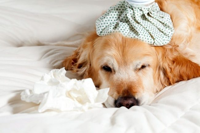 Аллергия у собак часто сопровождается слабостью и общим недомоганием