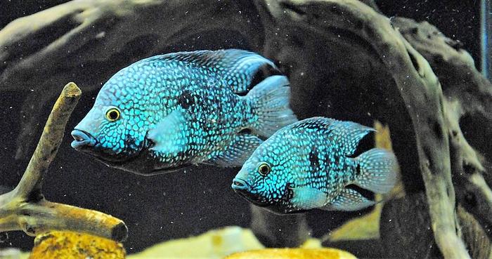 Цихлазома Бриллиантовая/Жемчужная - самец и самка.