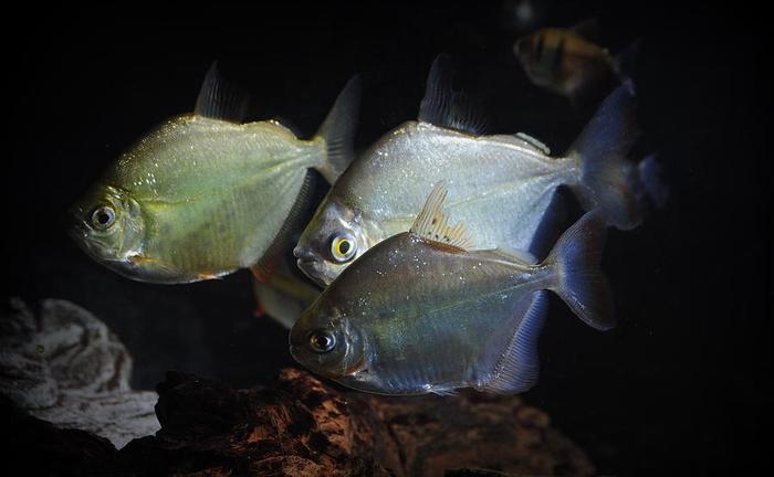 Метиннисы пугливая рыба, предпочитает слабое освещение.