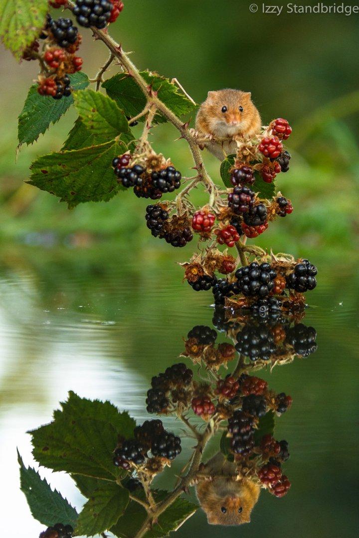 фотографии крошечных и забавных диких мышек (23)