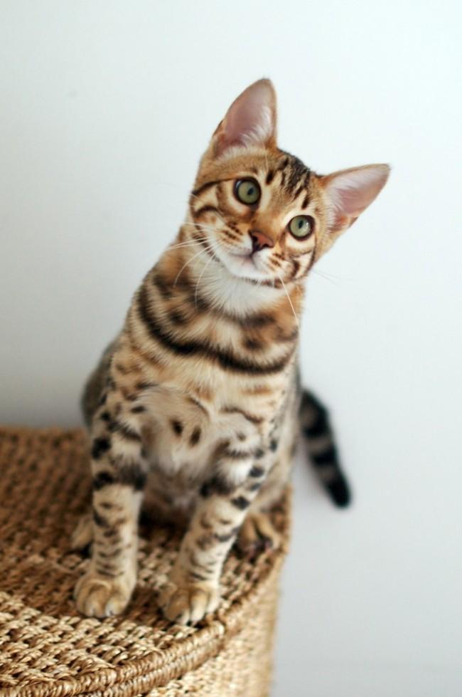 Бенгальский кот характеристики породы