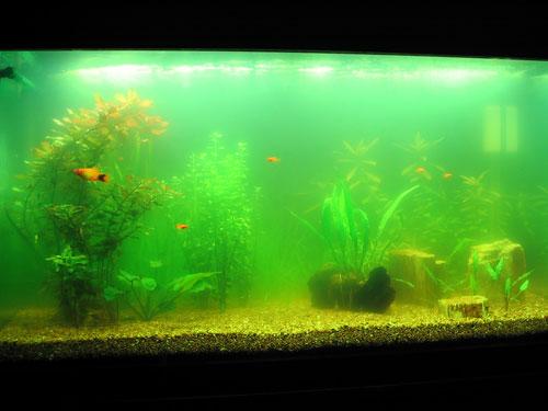 Цветущая вода в аквариуме
