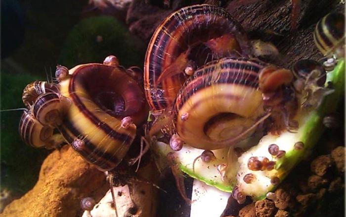 Маленькие улитки Маризы очень активны в аквариуме.