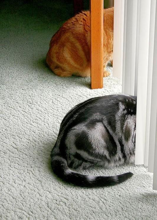 Американская короткошерстная кошка предпочитает обедать в одиночестве, прячась от других по углам. Кстати, к своей еде она относится довольно жадно и никому не позволит заглядывать в миску
