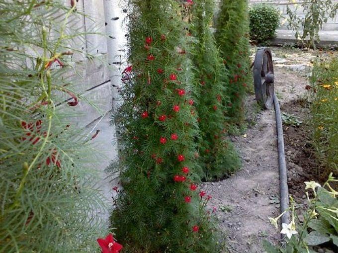 Ипомея квамоклит цветы