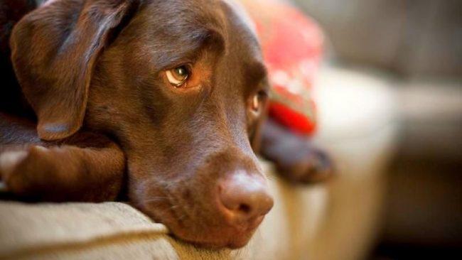 Каждый хозяин должен знать, чем лечить лишай у собак, но пренебрегать походом к ветеринару тоже не стоит