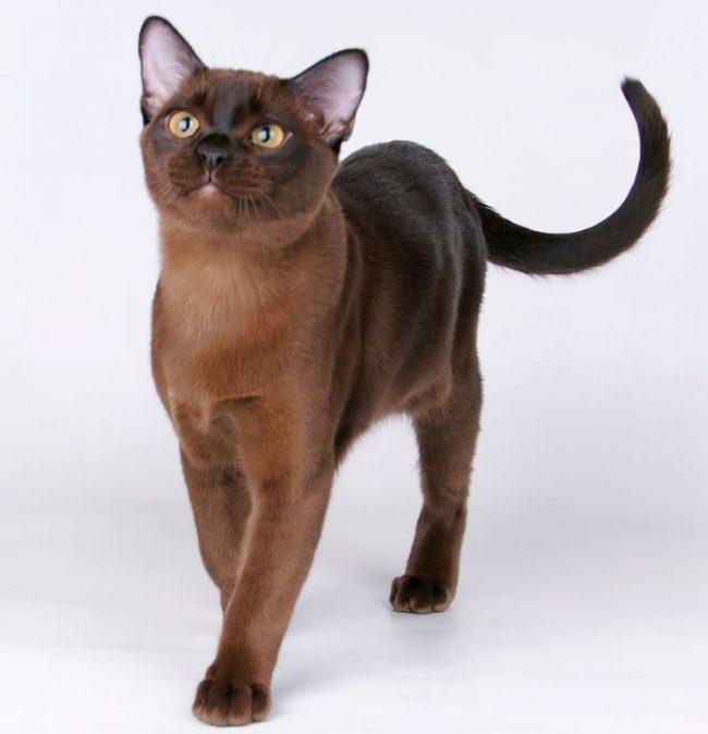 Благодаря тонкой шерсти, плотно прилегающей к коже, у бурманской кошки хорошо просматривается ее атлетическое мускулистое тело