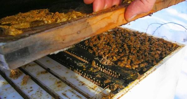 Пчелиный клуб в улье