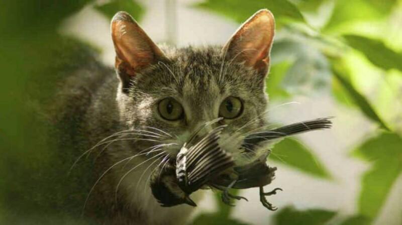 Почему кошки приносят хозяину домой убитых ими животных? (4 фото)