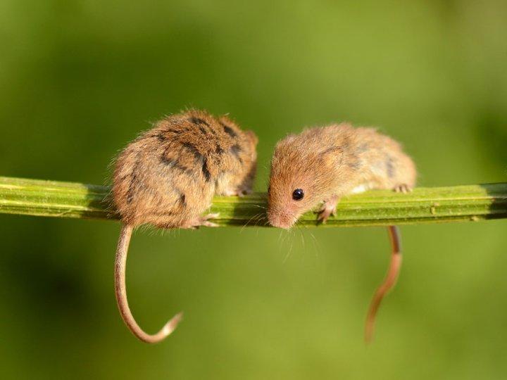 фотографии крошечных и забавных диких мышек (10)