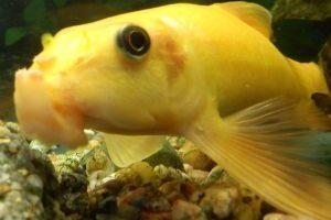 Гиринохейловые рыбки