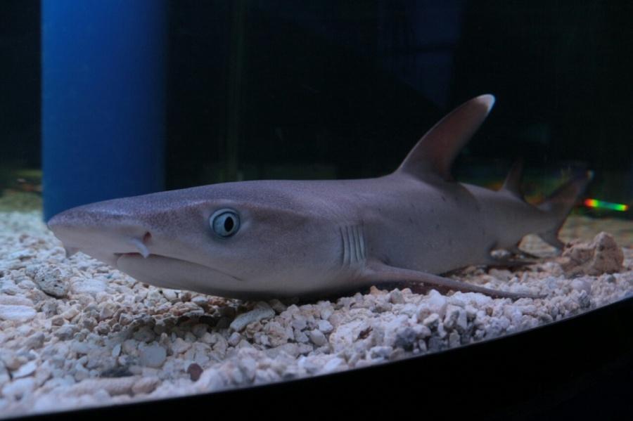 Рифовая белоперая акула