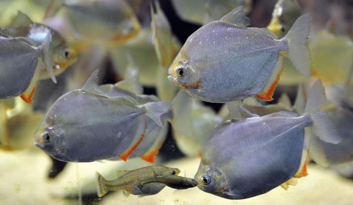 Метиннис Серебряный доллар - группа рыб в аквариуме.