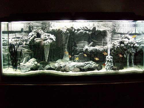 суматранский барбус в аквариуме для начинающих фото