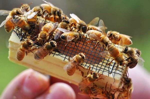 Пчелиная матка в клеточке