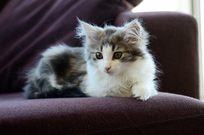 Норвежская лесная кошка умеет корректно вести себя с детьми. Она никогда не поцарапает и не обидит малыша