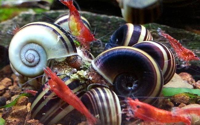 Гигантские Катушки мирные обитатели аквариума.