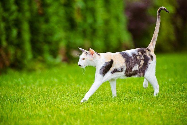 Ориентальные кошки полны энтузиазма, они достаточно энергичны и думают, что мир как бы вращается вокруг них