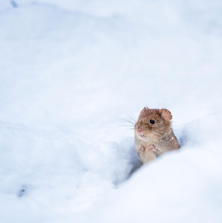 фотографии крошечных и забавных диких мышек (25)