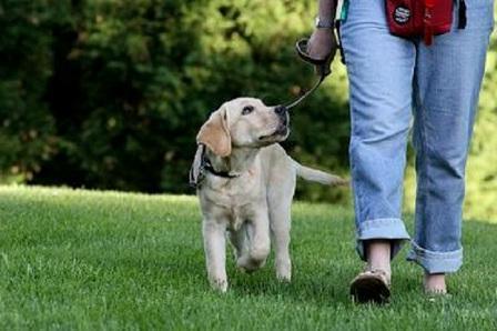 Картинки по запросу Дрессировка щенка: приучение к поводку, ошейнику, команда сидеть