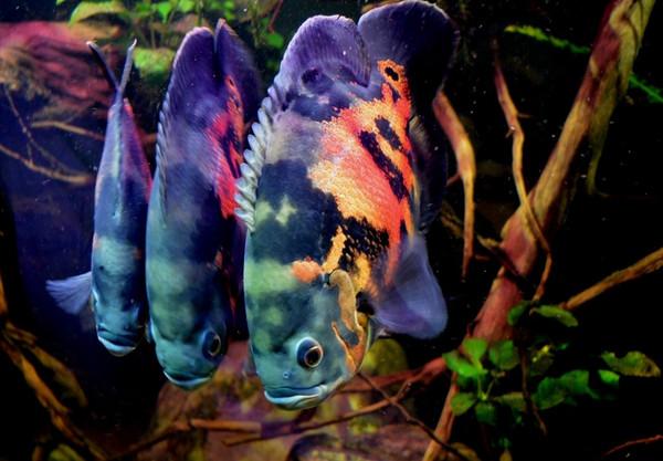 Тигровые астронотусы в аквариуме.