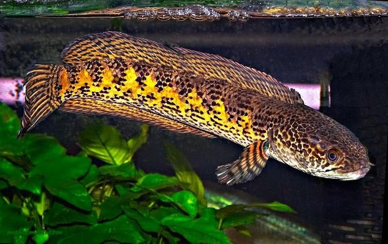 Красивый змееголов
