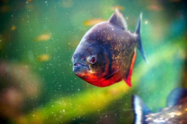 аквариумная пиранья не столь агрессивна, как ее речные сородичи