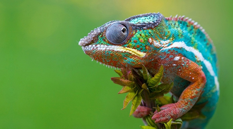 Colored-Chameleon