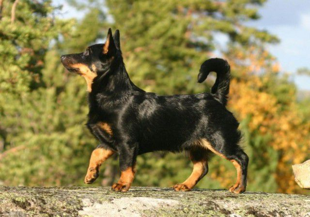 12. Ланкаширский хиллер Порода, собака