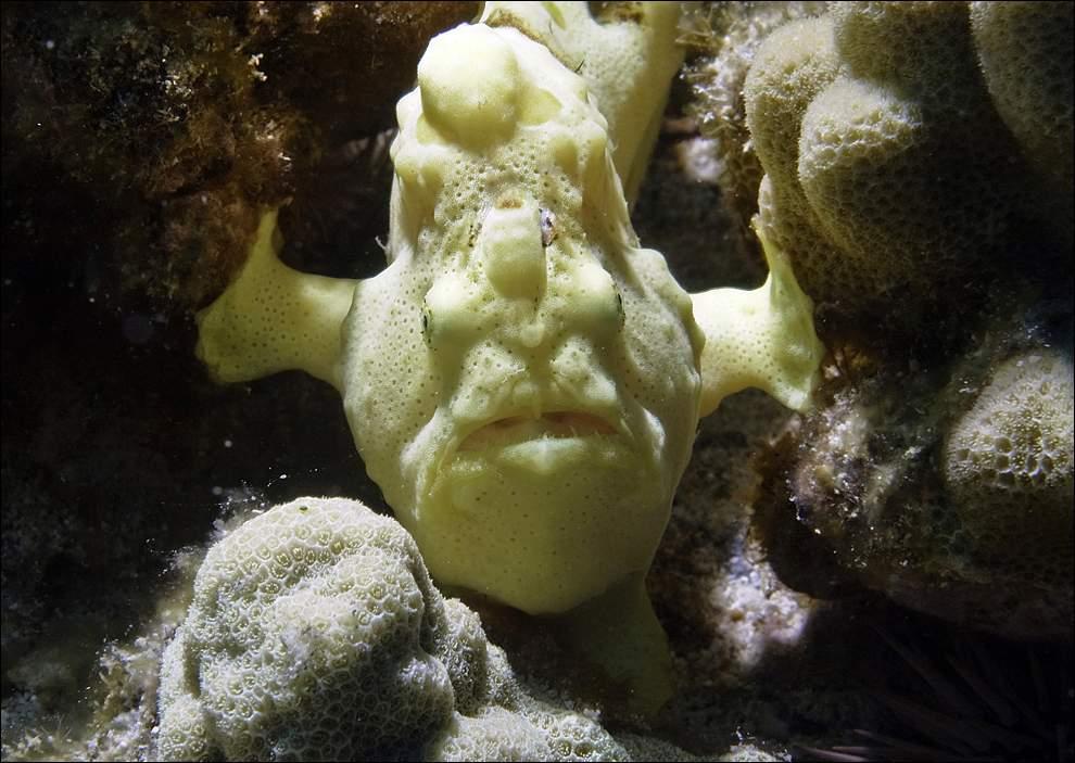 Морской черт Каммерсона