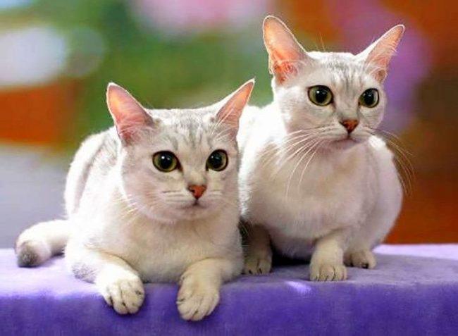 Эта порода результат случайного скрещивания бурманской и персидской кошек. Цвет чистого серебра – вот так характеризуют заводчики окрас