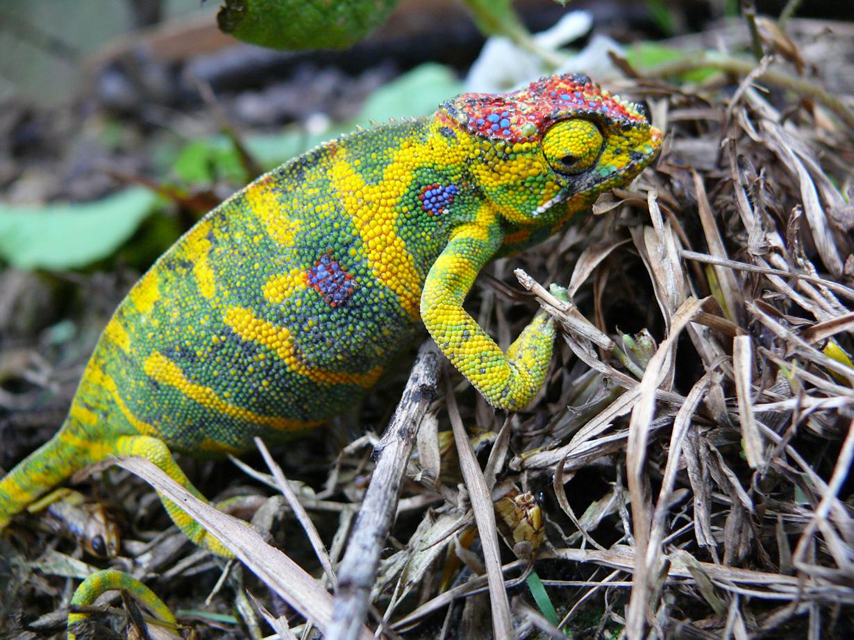 Ареал обитания — Мадагаскар. (Marius CONJEAUD)