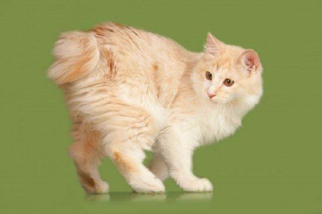 Рыжий котенок - бобтейл курильский