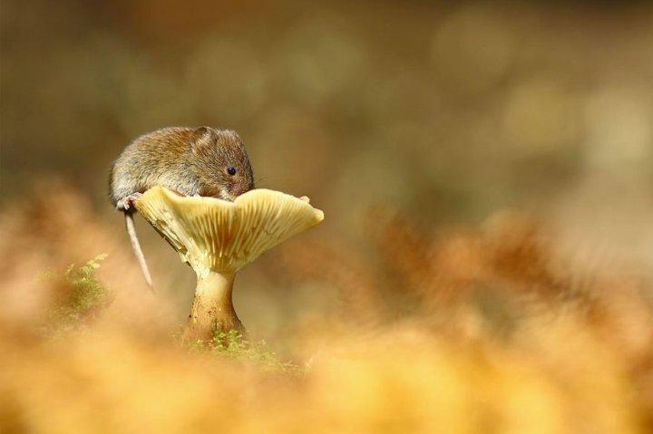 фотографии крошечных и забавных диких мышек (15)