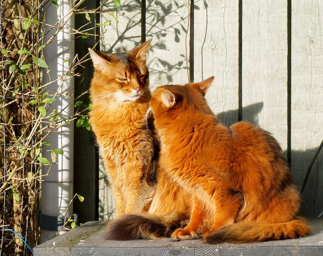 Сомалийские коты дружелюбны к животным других видов, иногда даже пытаются завести с ними дружбу. При этом собаки, попугаи, кролики и незнакомые коты бывают шокированы таким отношением и не всегда принимают предложение поиграть